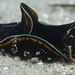 Blue-margin Headshield Slug - Photo (c) Christopher Mark, some rights reserved (CC BY-NC)