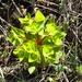 Euphorbia komaroviana - Photo (c) Valery Kambalin,  זכויות יוצרים חלקיות (CC BY-NC)