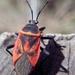 Largus rufipennis - Photo (c) jbar82, algunos derechos reservados (CC BY-NC-SA)