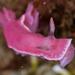 Verconia haliclona - Photo (c) Rebecca Lloyd, μερικά δικαιώματα διατηρούνται (CC BY-NC)