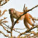 Rhesus Macaque - Photo (c) pfaucher, some rights reserved (CC BY-NC)