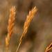 Vulpia octoflora - Photo ללא זכויות יוצרים