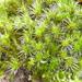 Campylopus introflexus - Photo (c) epitree, algunos derechos reservados (CC BY-NC), uploaded by Maurice