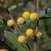 Western Coastal Wattle - Photo (c) James Bailey, some rights reserved (CC BY-NC)