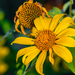 Mexican Sunflower - Photo (c) abelardomendesjr, some rights reserved (CC BY-NC)