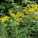 Giant Goldenrod - Photo (c) Erika Mitchell, some rights reserved (CC BY-NC)