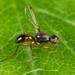 Sepsidae - Photo (c) Nikolai Vladimirov,  זכויות יוצרים חלקיות (CC BY-NC)