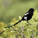 Lowveld Magpie Shrike - Photo (c) maritzasouthafrica, some rights reserved (CC BY-NC)