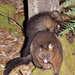 Tasmanian Brushtail Possum - Photo (c) pfaucher, some rights reserved (CC BY-NC)
