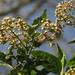 Baccharis latifolia - Photo (c) Mateo Hernandez Schmidt, μερικά δικαιώματα διατηρούνται (CC BY-NC-SA)