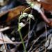Acianthus fornicatus - Photo (c) Marie Tarrant, algunos derechos reservados (CC BY-NC)