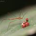Pneustocerus gravelyi - Photo (c) Mandar Kulkarni, algunos derechos reservados (CC BY-NC)