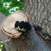 Cetónido Negro - Photo (c) Nicolas Olejnik, algunos derechos reservados (CC BY-NC)
