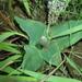 Ledebouria ovatifolia ovatifolia - Photo Δεν διατηρούνται δικαιώματα