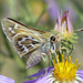 Uncas Skipper - Photo (c) Paul Prappas, some rights reserved (CC BY-NC)