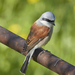 Red-backed Shrike - Photo (c) Mi Strike, some rights reserved (CC BY-NC)