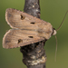 Agrotis exclamationis - Photo (c) Nikolai Vladimirov,  זכויות יוצרים חלקיות (CC BY-NC)