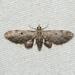 Eupithecia miserulata - Photo (c) Royal Tyler, μερικά δικαιώματα διατηρούνται (CC BY-NC-SA)