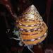 Calliostoma tricolor - Photo (c) Alison Young, algunos derechos reservados (CC BY-NC)