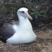 Albatros de Laysan - Photo (c) Frank, algunos derechos reservados (CC BY-NC)