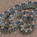 Long-nosed Snakes - Photo (c) Jerry Oldenettel, some rights reserved (CC BY-NC-SA)