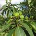 Euphorbia laurifolia - Photo (c) Manuel Roncal, osa oikeuksista pidätetään (CC BY-NC)