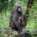Baboons - Photo (c) pfaucher, some rights reserved (CC BY-NC)