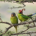 Plum-headed Parakeet - Photo (c) jungleemaster1994, some rights reserved (CC BY-NC)