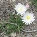 Pinaropappus roseus - Photo (c) Linda Jo Conn, osa oikeuksista pidätetään (CC BY-NC)