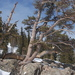 Pinus aristata - Photo (c) Loren Cassin Sackett, μερικά δικαιώματα διατηρούνται (CC BY-NC)