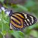Mariposa Alas de Tigre Reina - Photo (c) Paul Prappas, algunos derechos reservados (CC BY-NC)