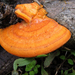Trametes cinnabarina - Photo (c) Kari Pihlaviita, algunos derechos reservados (CC BY-NC)