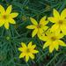 Coreopsis verticillata - Photo (c) JanetandPhil, algunos derechos reservados (CC BY-NC-ND)