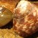 Trochidae - Photo (c) Christine Ridge-Schnaufer, algunos derechos reservados (CC BY-NC)