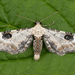 Eupithecia centaureata - Photo (c) Nikolai Vladimirov, algunos derechos reservados (CC BY-NC)