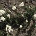 Anaphalioides subrigida - Photo (c) john_barkla, some rights reserved (CC BY), uploaded by John Barkla