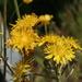 Crepis biennis - Photo (c) Enrico Blasutto,  זכויות יוצרים חלקיות (CC BY-SA)