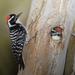 Carpintero Californiano - Photo (c) Mike Baird, algunos derechos reservados (CC BY)