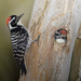 Nuttall's Woodpecker - Photo (c) Mike Baird, some rights reserved (CC BY)