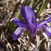 Iris uniflora - Photo (c) nmehner,  זכויות יוצרים חלקיות (CC BY-NC)