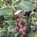 Conocarpus erectus - Photo (c) thatplantguy, osa oikeuksista pidätetään (CC BY-NC)