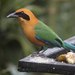 Rufous Motmot - Photo (c) Steven Easley, some rights reserved (CC BY-NC)