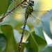 Blue-faced Darner - Photo (c) Mary Keim, some rights reserved (CC BY-NC-SA)