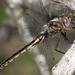 Epitheca cynosura - Photo (c) Anthony Zukoff,  זכויות יוצרים חלקיות (CC BY-NC-SA)