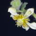 Blumenbachia prietea - Photo (c) aacocucci, algunos derechos reservados (CC BY-NC)