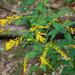 Solidago ulmifolia - Photo (c) Peter Gorman, algunos derechos reservados (CC BY-NC-SA)