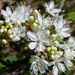 Sand Cherry - Photo (c) Superior National Forest, some rights reserved (CC BY)