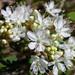 Prunus pumila - Photo (c) Superior National Forest, algunos derechos reservados (CC BY)
