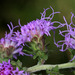 Appalachian Blazing Star - Photo (c) cotinis, some rights reserved (CC BY-NC-SA)