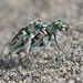 St. Anthony Dune Tiger Beetle - Photo (c) Will Richardson, some rights reserved (CC BY)